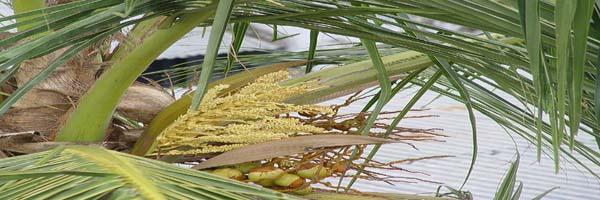 coconut diseases