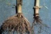 cowpea Root rot