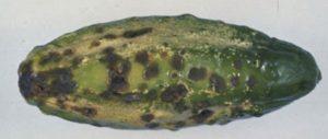 cucumber scab