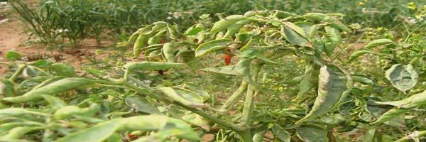 chilli diseases