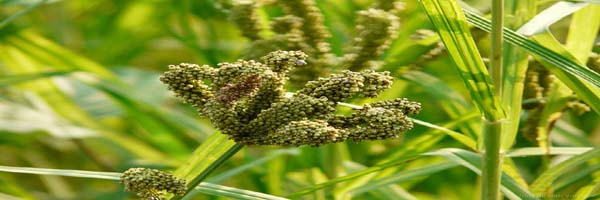 finger millet diseases