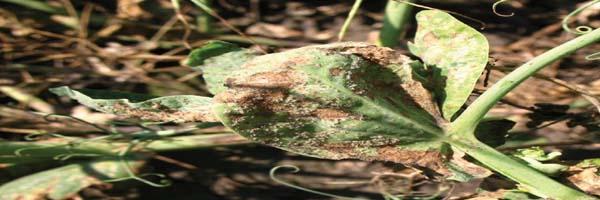 Pea diseases