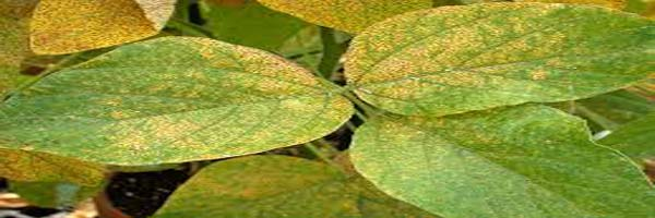 Soybean diseases