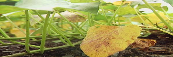 sweet potato diseases