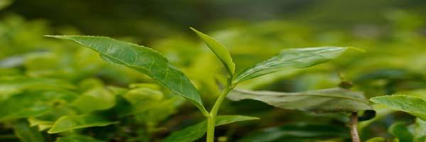 tea diseases