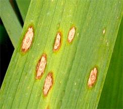 finger millet bacterial leaf spot