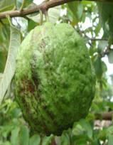 guava rust