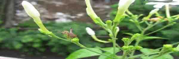 jasmine pests