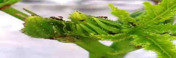 Pests of Okra