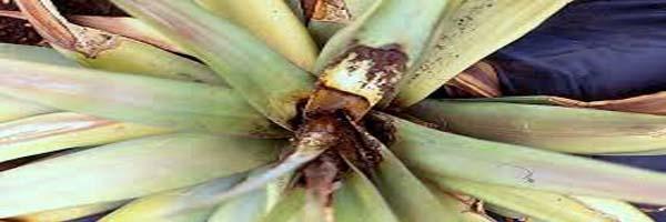 pineapple diseases