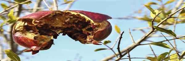 pomegranate diseases