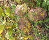 soybean rhizoctonia aerial blight