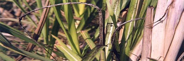sugarcane diseases