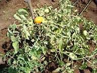 tomato bacterial wilt