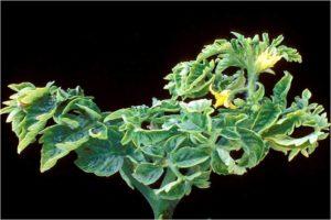 tomato leaf curl