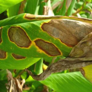 turmeric leafspot
