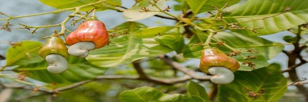 काजू के पेड़ो का कायाकल्प