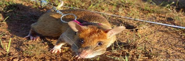 शुष्क क्षेत्र में चूहों का नियंत्रण
