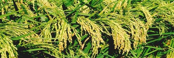 संकर धान का बीज उत्पादन