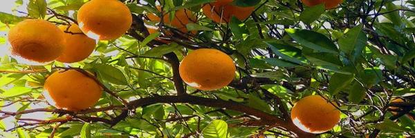 नींबूवर्गीय फसलों का उत्पादन