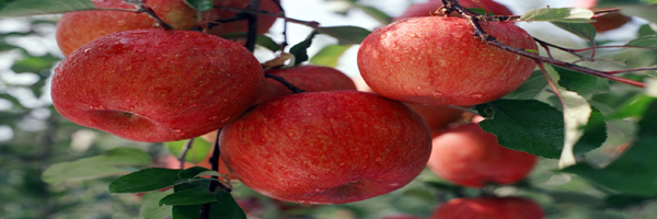 Assam apple