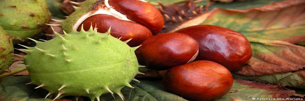 chestnut cultivation