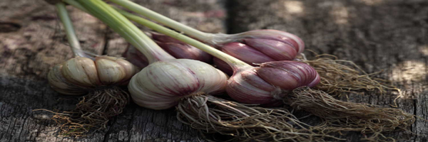 fertilizers and manure of garlic