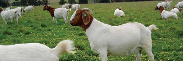 Health Management of Goats