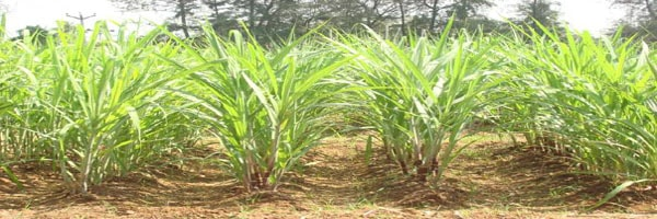 Plant Protection of sugarcane