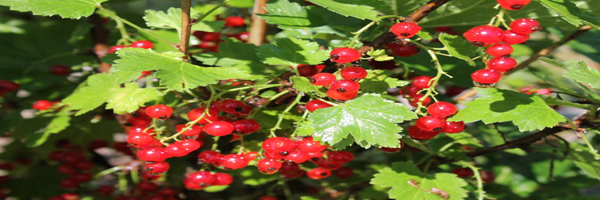 currants cultivation