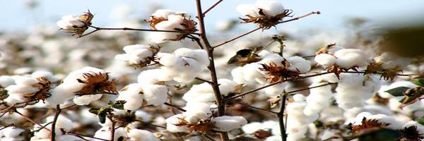 cotton cultivation in gujarat