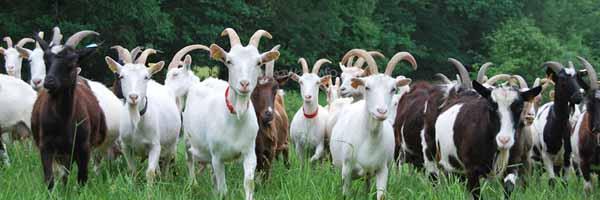 goat farming in goa