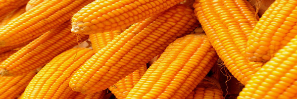 conservation agriculture in maize production