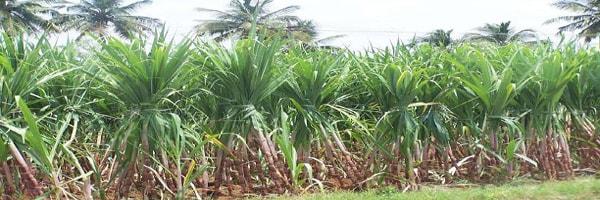 ratooning in sugarcane