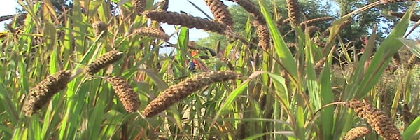 genetic improvement small millets