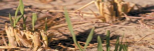 sugarcane ratoon mangement