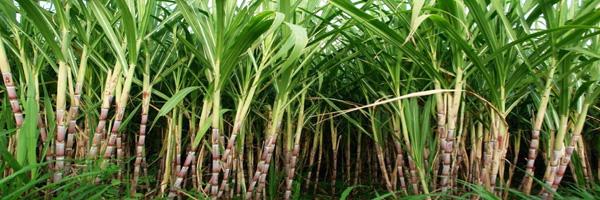 Sugarcane varieties