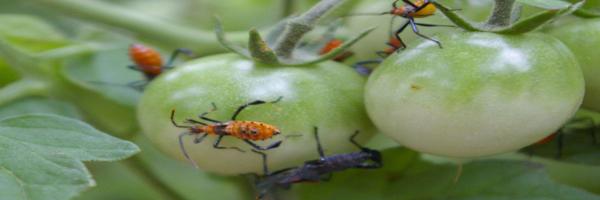 Tomato IPM