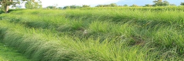vetiver cultivation