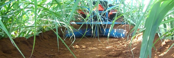 weed management in sugarcane