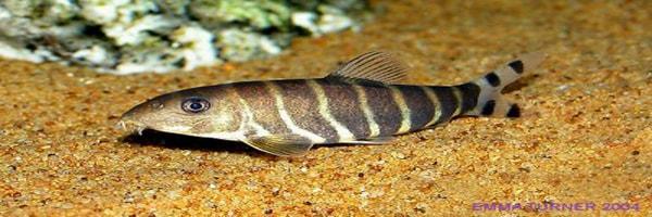 Botia dario fish