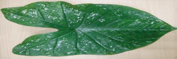 Caladium steudneriifolium