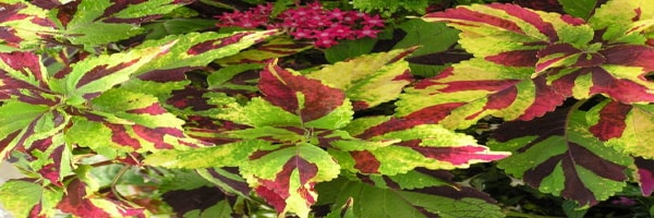 Finger paint plant