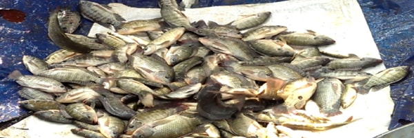 INCREASING CARP SEED PRODUCTION