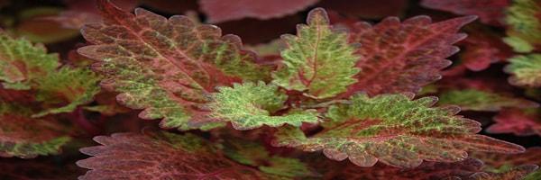 Indian Summer Coleus plant