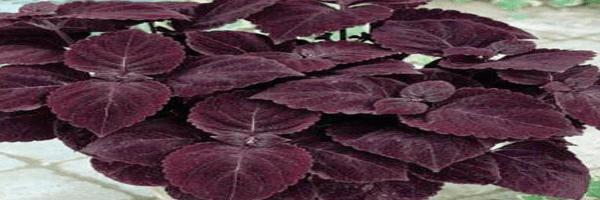 Mahogany Giant plant