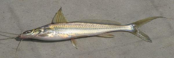 Mystus vittatus fish