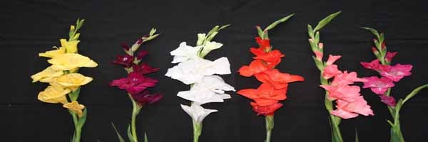 PRODUCTION TECHNOLOGY OF GLADIOLUS IN GOA