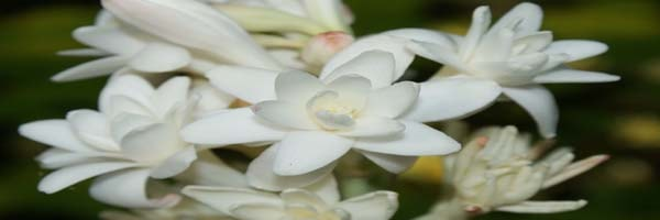 pests and diseases of tuberose