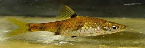 Pethia gelius fish